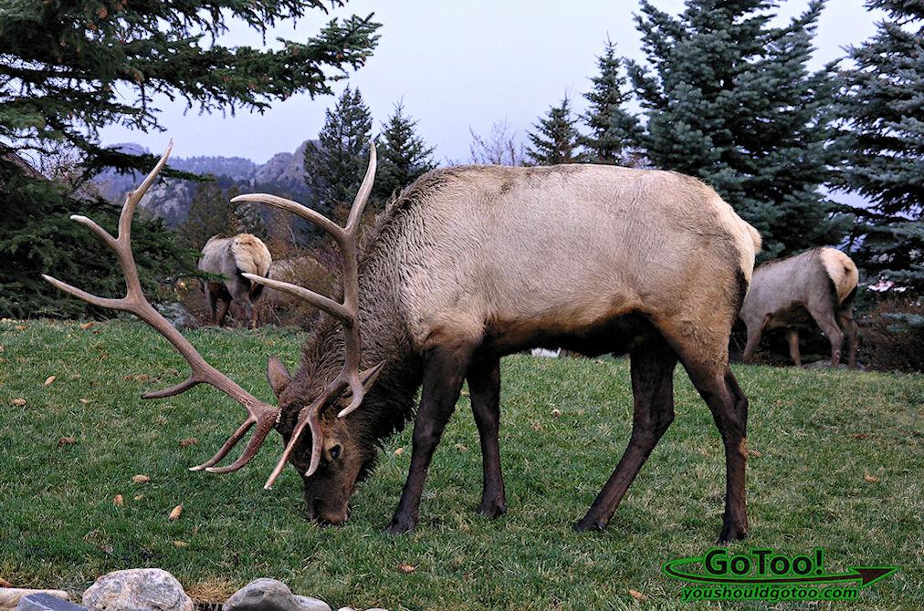 Elk Herd in Estes Park