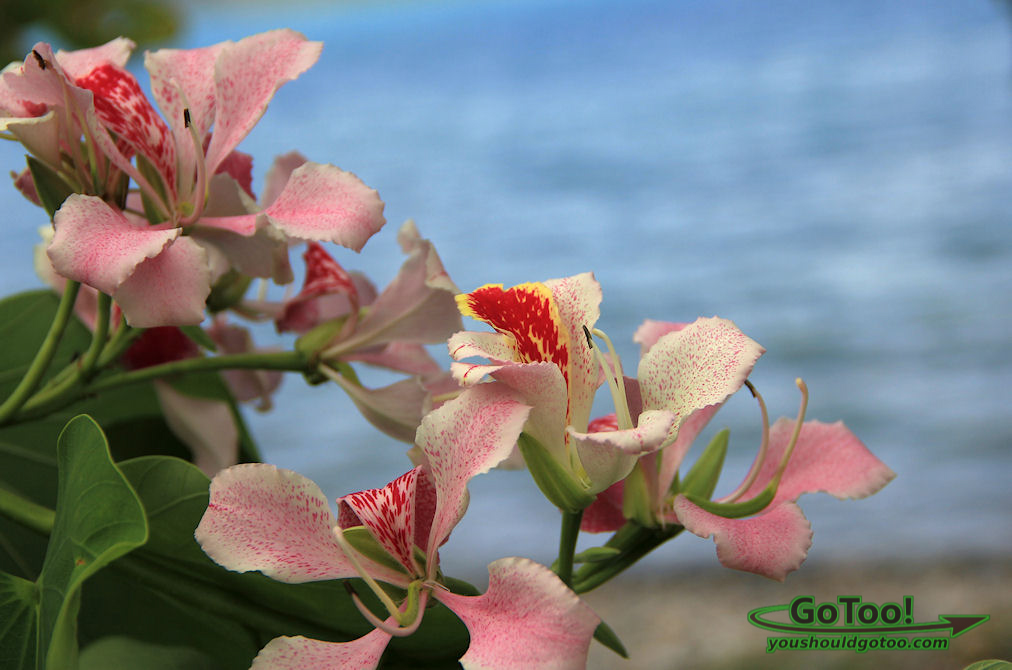 Pink flowers on St John Virgin Islands