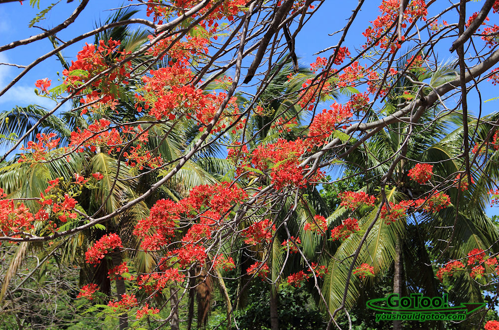 Flowering Flamboyant Tree