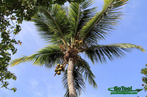 Coconut Palm Tree and Blue Sky St Thomas USVI