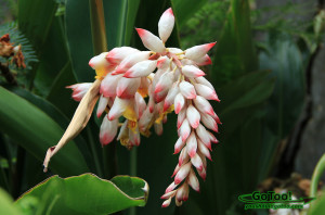 Flowering Shell Ginger St Thomas USVI