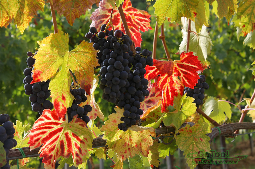 Grapes Growing on the vine Tuscany Italy