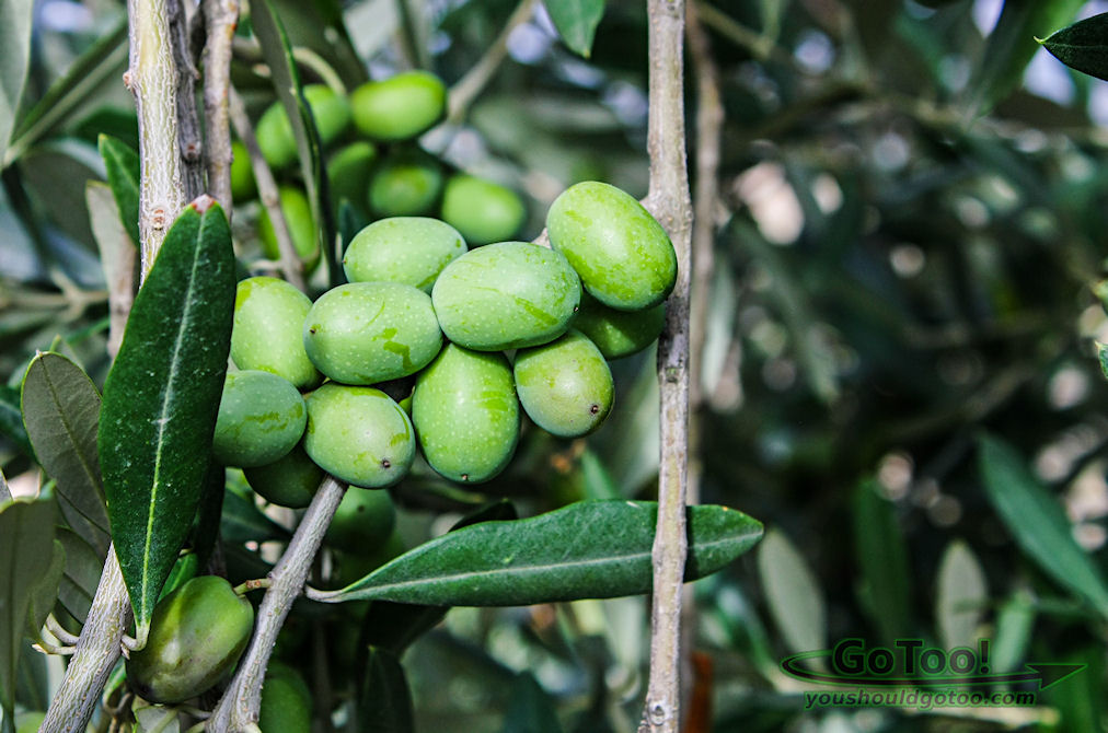 Olives Growing in Tuscany Italy