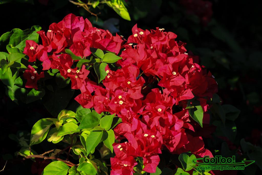 Red Bougainvillea Flowers Culebra
