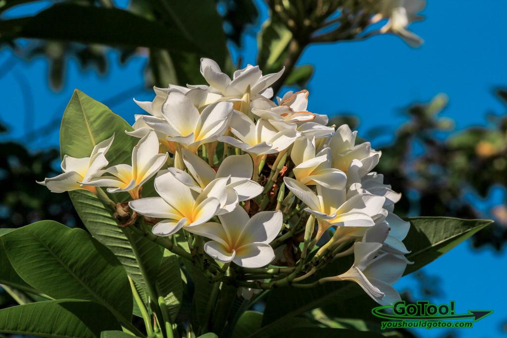 White Plumeria Flowers Culebra