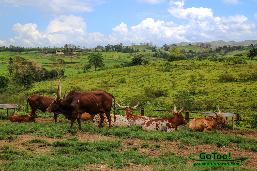 Cattle and Farmland in the Mountains of Puerto Rico