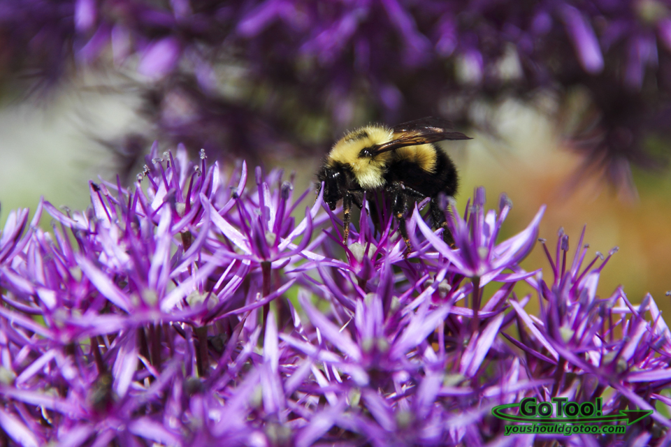 Bumble Bee on Purple Flower Bridge of Flowers