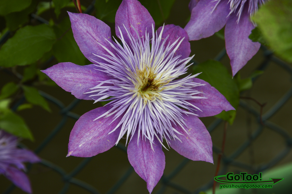 Purple Blossom – Bridge of Flowers