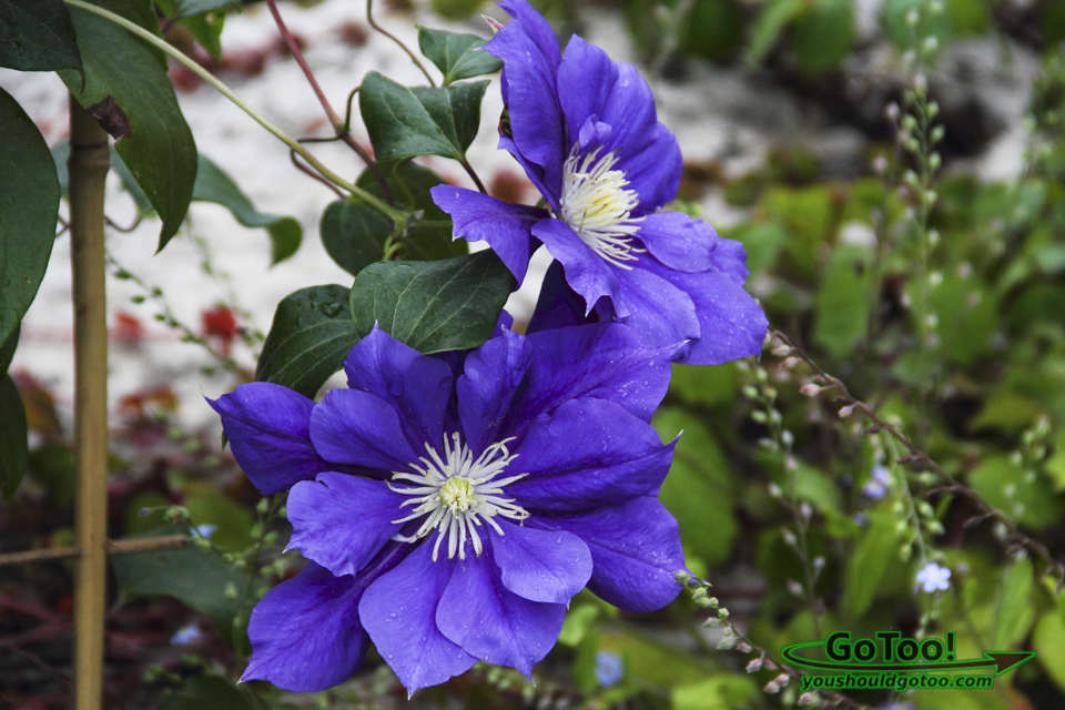 Violet Blue Clematis – Bridge of Flowers