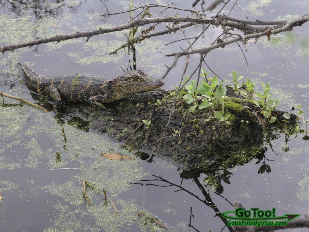 Baby Alligator Florida
