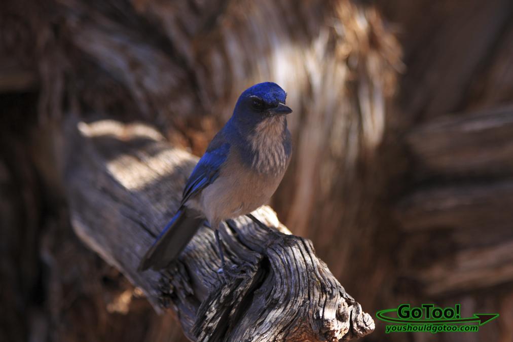 Western Bluebird Utah