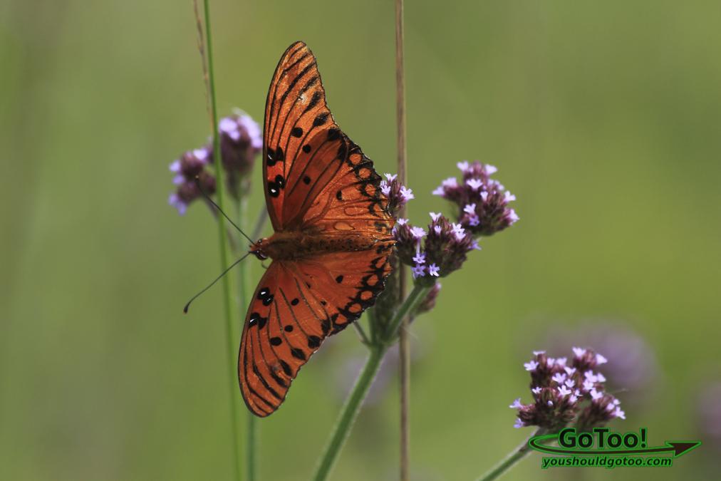Butterfly FL