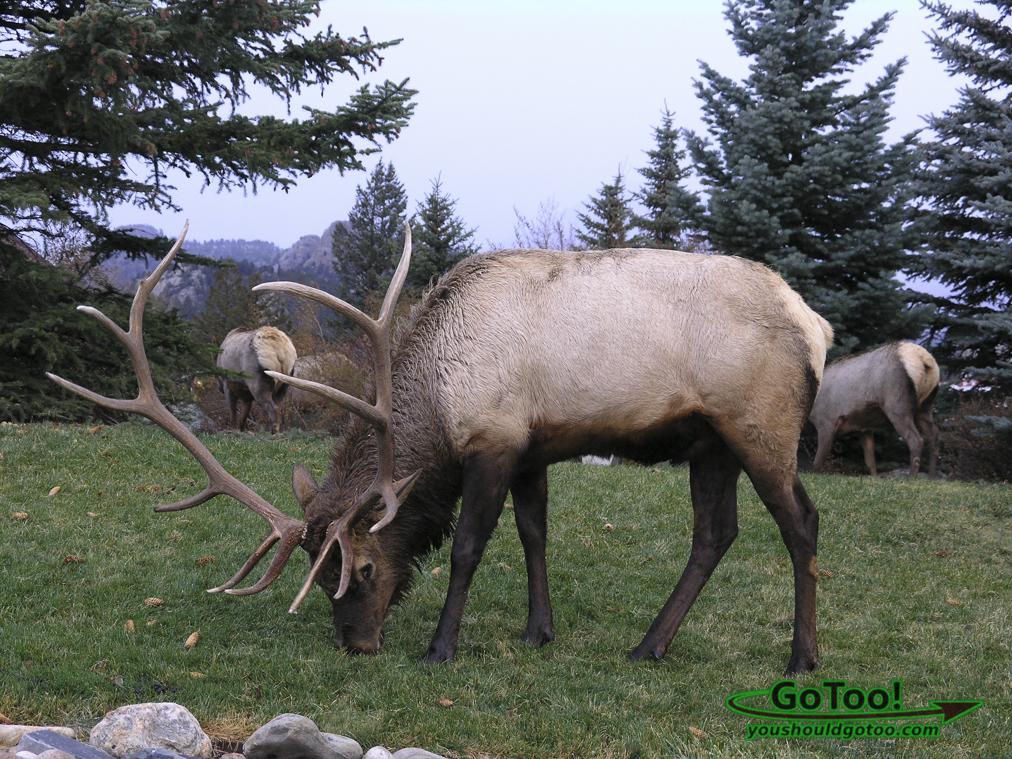 Elk in Estes Park Colorado