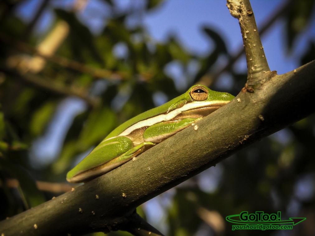 Frog waking in morning Florida