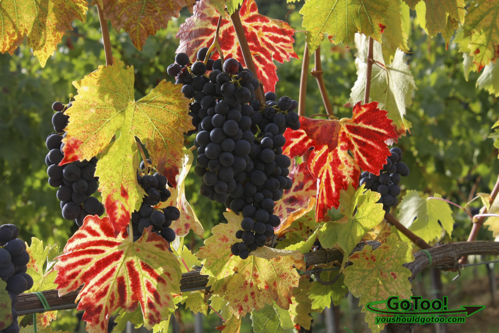 Grapes on the Vine Italy
