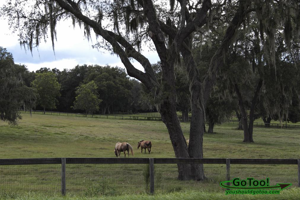 Horses in Pasture Ocala FL
