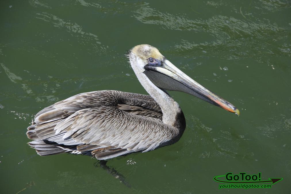 Pelican FL