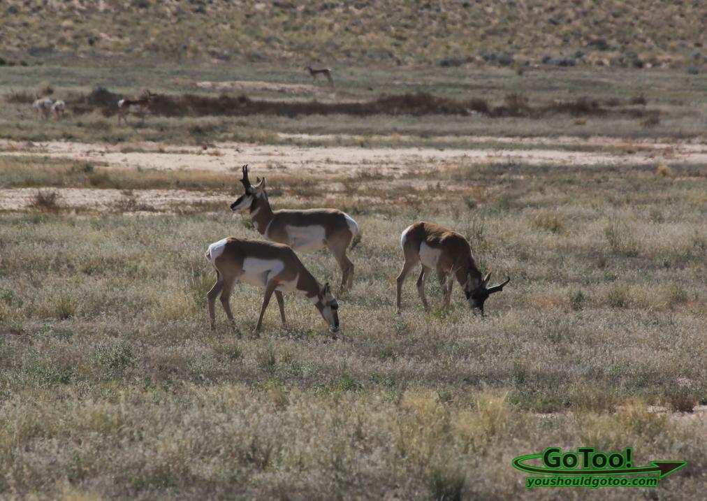 Proghorn Antelope Utah