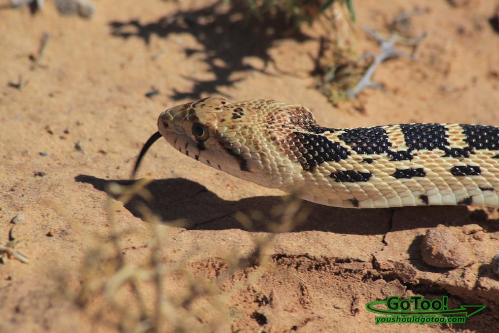 Snake Utah