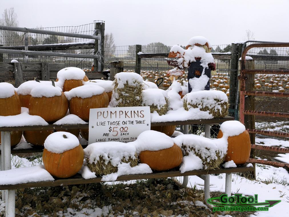 Snow Covered Pumpkins Colorado