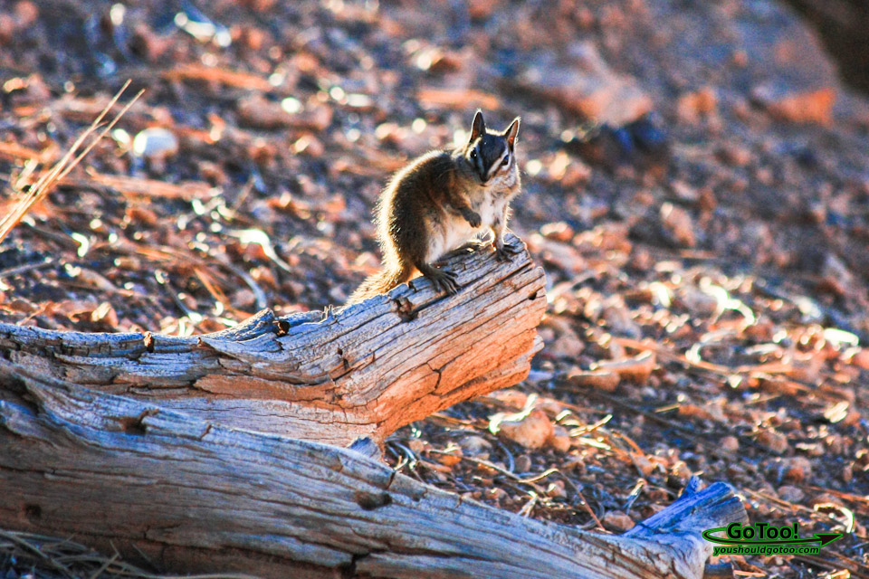 Chipmunk Bryce Canyon Sunrise