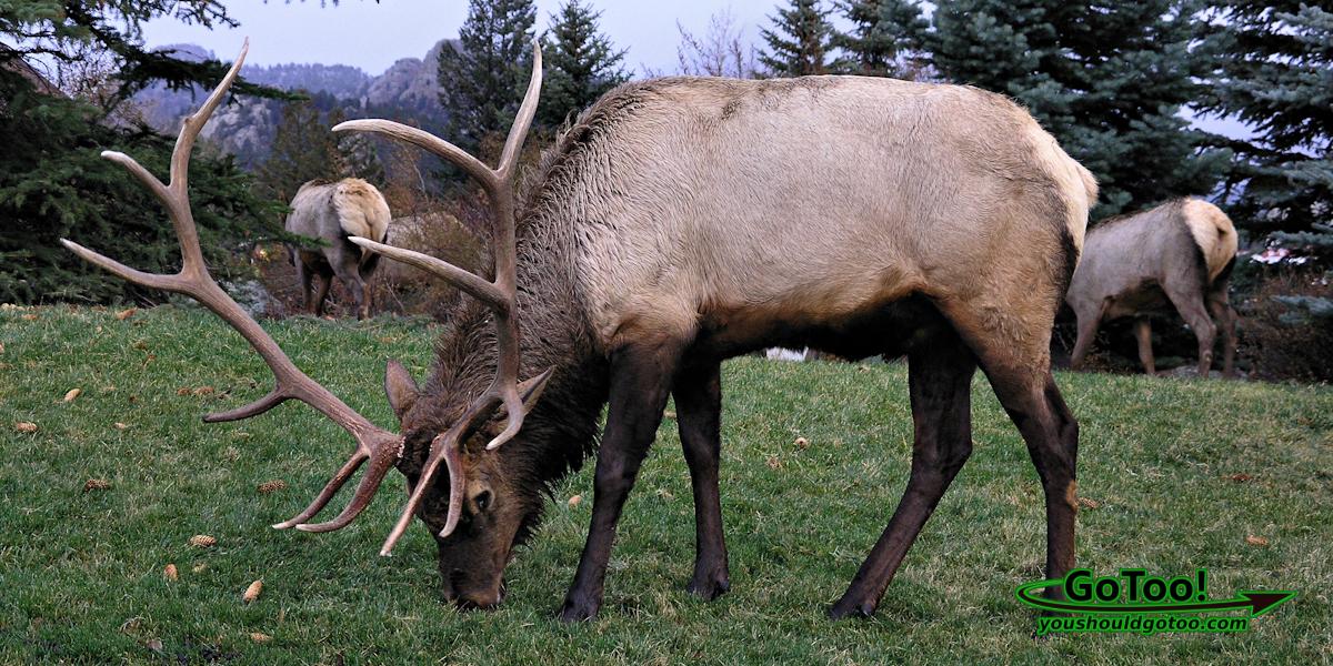 Elk, Estes Park Colorado